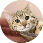 American Bobtail Emotional Support Cat