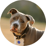american pit bull terrier esa dog