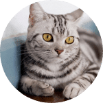 American Shorthair Emotional Support Cat