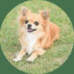 chihuahua esa dog
