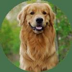 golden retriever esa dog