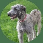 irish wolfhound esa dog