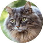 Maine Coon Emotional Support Cat