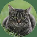 Manx Emotional Support Cat