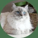 Ragdolls Emotional Support Cat