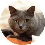 Russian Blue Emotional Support Cat