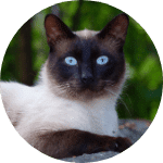 Siamese Emotional Support Cat