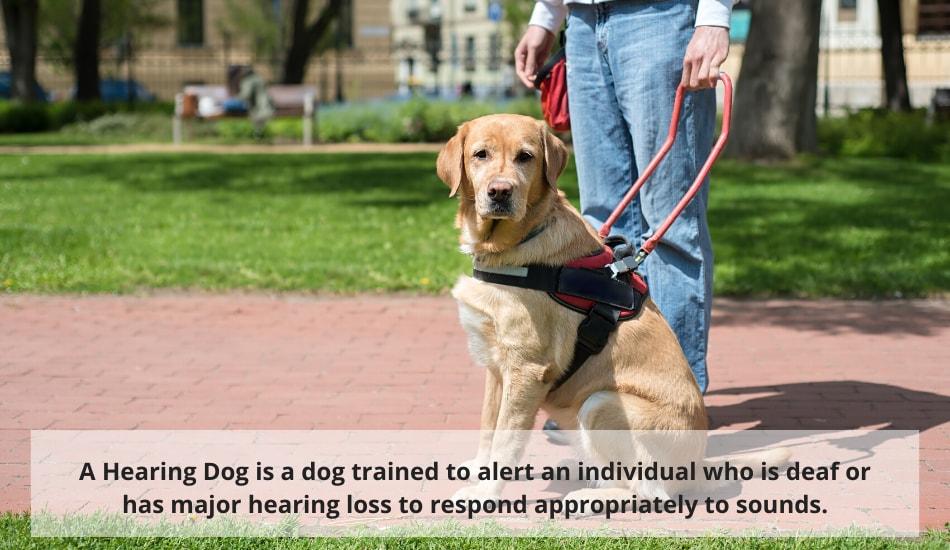 Hearing Service Dog